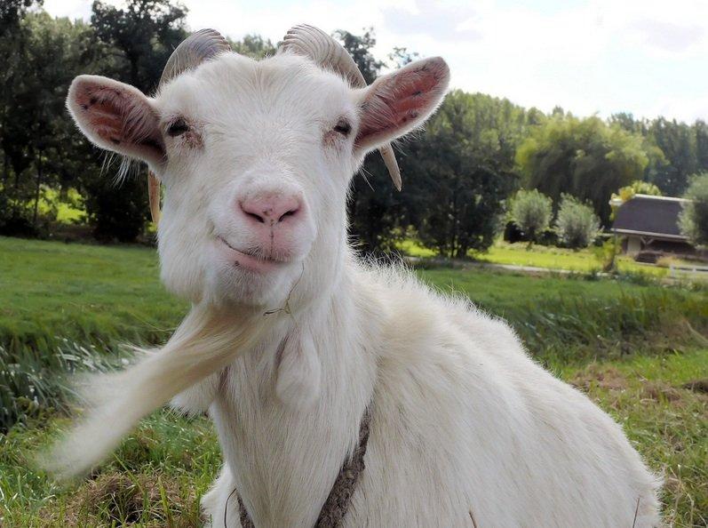 agora, uma dose de leite de cabra virgem barbuda do Nepal...
